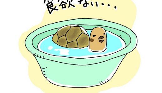 【リクガメ】温浴で食欲増進【温浴】