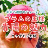夏限定!美味しいプラム「貴陽(きよう)」の魅力を徹底紹介!